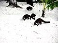 Cozumel Island Coati Family at Fury Beach, Mexico.jpg