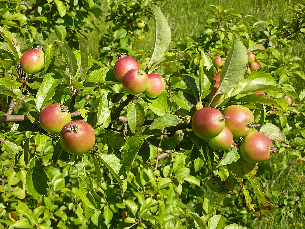 how to say apple tree in spanish