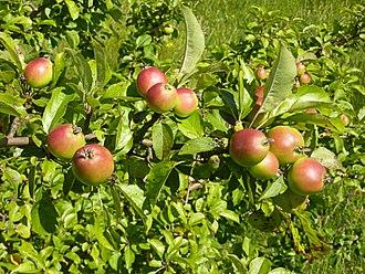 Malus - Ripe wild crab apples (Malus sylvestris)