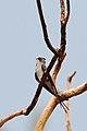 Crested Treeswift - Hemiprocne coronata, Mae Hia Agricultural College area.jpg