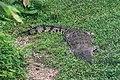 Croc in the grass (26390244424).jpg