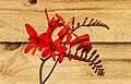 Crocosmia 'Lucifer'. 13-07-2020. (actm.) 01.jpg
