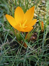 Crocus flavus ssp flavus 07.jpg