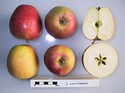 Cross section of Adam's Pearmain (LA 73A), National Fruit Collection (acc. 1976-137).jpg