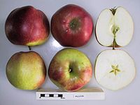 Cross section of Erlijon, National Fruit Collection (acc. 1974-057).jpg