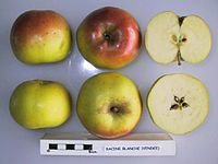 Cross section of Racine Blanche (Vendee), National Fruit Collection (acc. 1948-254).jpg
