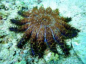 Crown of Thorns Starfish at Malapascuas Island.jpg