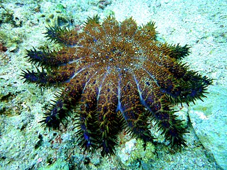 Acanthaster brevispinus - Image: Crown of Thorns Starfish at Malapascuas Island