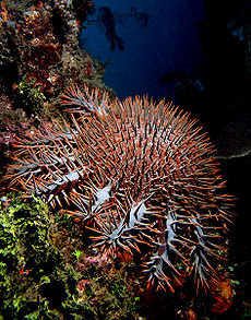 Crown of thorms starfish.jpg