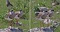 Crowned lapwings (Vanellus coronatus) composite.jpg