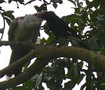 Cuckoo being fed by pied currawong.jpg