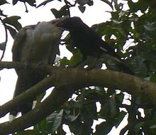 a black crow-like bird feeds a huge pale grey nestling, much larger than the adult bird.