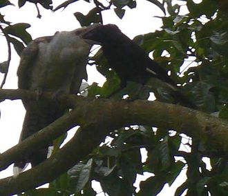 Channel-billed cuckoo - Channel-billed cuckoo chick being fed by much smaller pied currawong in Sydney, Australia