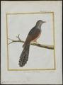 Cuculus merulinus - 1700-1880 - Print - Iconographia Zoologica - Special Collections University of Amsterdam - UBA01 IZ18800235.tif