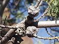 Cupressus macnabiana cones.JPG
