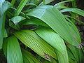 Curculigo angustifolia dsc03708.jpg