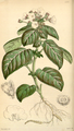 Curtis's Botanical Magazine, Plate 4282 (Volume 73, 1847).png