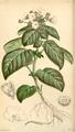 Curtis's Botanical Magazine, Plate 4282 (Volume 73, 1847).png