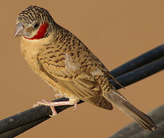 Wildlife of Mali - Image: Cut throat Finch (Amadina fasciata, male Djenné, Mali, 2008)
