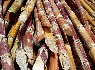 Cash crop - Sliced sugarcane, a significant cash crop in Hawaii