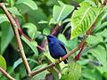 Cyanerpes caeruleus -Trinidad -male-8.jpg