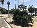 Cycas revoluta in front of Okunoshima Resort Hotel.jpg