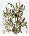 Cycnoches loddigesii - Edwards vol 21 pl 1742 (1836).jpg