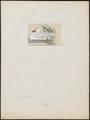 Cygnus chionis - 1820-1863 - Print - Iconographia Zoologica - Special Collections University of Amsterdam - UBA01 IZ17600247.tif