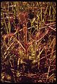 DROSERA INTERMEDIA (SUNDEW), SEEN IN A TIVERTON MARSH - NARA - 547672.jpg