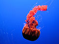 "DSC26400, Black Sea Nettle (""Chrysaora Achlyos""), Monterey Bay Aquarium, Monterey, California, USA (5513376749).jpg"