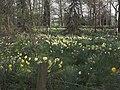 Daffodil plantation - geograph.org.uk - 400893.jpg