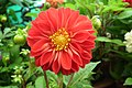Dahlia at Lalbagh flowershow aug2011 7059.JPG