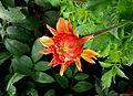 Dahlia bud.jpg