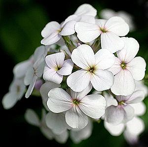 Hesperis matronalis - Flower detail