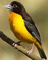 Dark-backed weaver, Ploceus bicolor, also known as the forest weaver at Ndumo Nature Reserve, KwaZulu-Natal, South Africa (28841131011).jpg