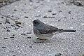 Dark-eyed junco foraging on the ground (44076460370).jpg