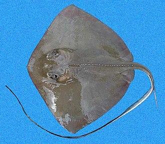 Southern stingray - Image: Dasyatis americana SI