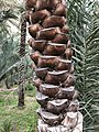 Date palm tree bark.jpg