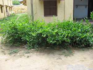 Dayalbagh - Shrubs are planted around houses, as part of the environmental protection movement