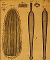 De quibusdam animalibus marinis, eorumque proprietatibus, orbi litterario vel nondum vel minus notis, liber - cum nonnullis tabulis aeri incisis, ab auctore super vivis animalibus delineatis (1761) (20867303581).jpg
