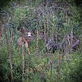 Deer at the South Fork John Day Wild and Scenic River (35598946374).jpg