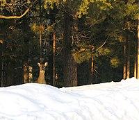 Ciervo en un bosque de Minnesota