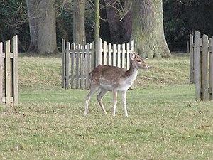 Hackwood Park - A deer on the grounds of Hackwood Park.