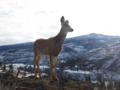 Deer in Winter near Myra-Bellevue Provincial Park.png