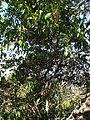 Deeringia amaranthoides habit.jpg