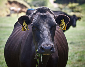 Livestock dehorning - A dehorned dairy cow in New Zealand
