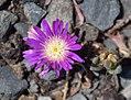 Delosperma sutherlandii in Dunedin Botanic Garden 06.jpg