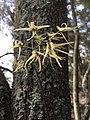 Dendrobium teretifolium.jpg