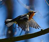 Dendroica fusca RBG Can flight.jpg