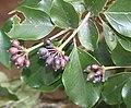 Dendropanax trifidus (fruits).jpg